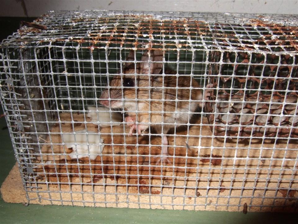 Feldmause Aussetzen Mausebande Forum